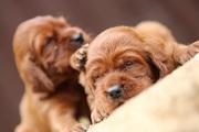 супер крутая порода собак - Ирландский красный сеттер- шикарные щенки